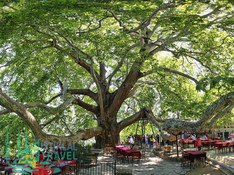 الشجرة التاريخية او الكبيرة في جبل الاولداغ
